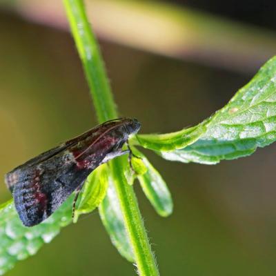Phycide marbrée (Acrobasis marmorea )