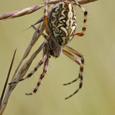 Araignées et Opilions