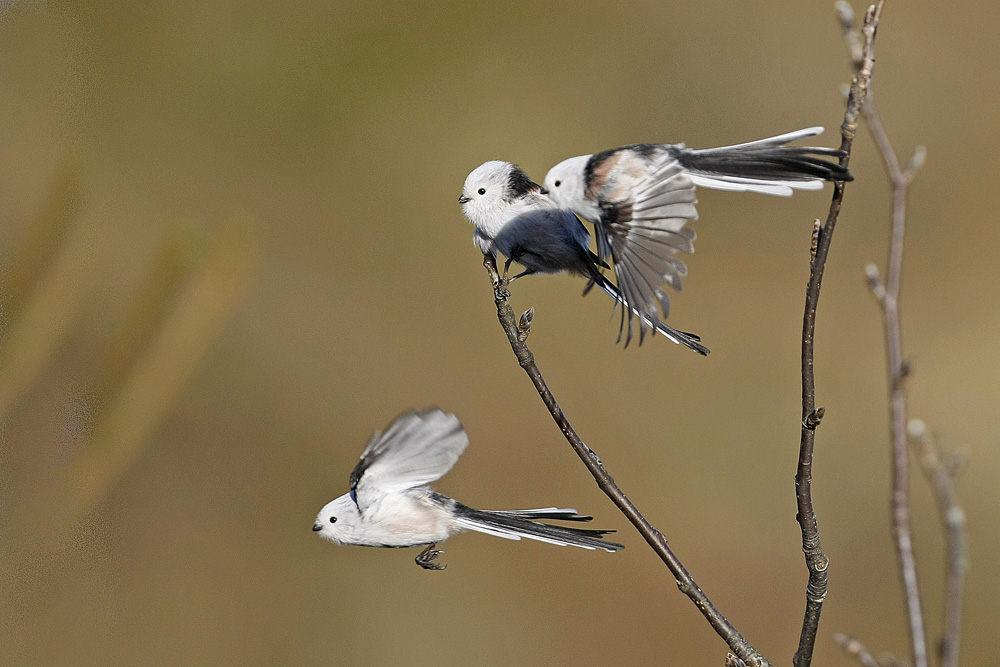 Mésange à longue queue race du nord (Aegithalos caudatus caudatus)