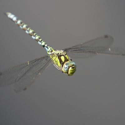 Aeschne bleue (Aeshna cyanea)  mâle.