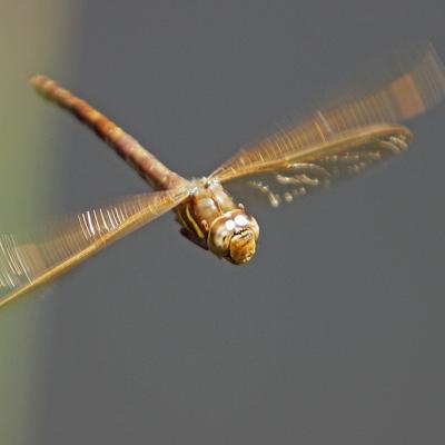 La Grande aeschne (Aeshna grandis) femelle