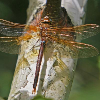 La Grande aeschne (Aeshna grandis) mâle