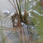 L' Aeschne des joncs (Aeshna juncea) femelle