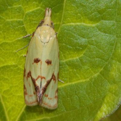 L' Euxanthie du chardon (Agapeta hamana)
