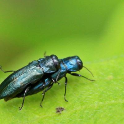 Bupreste:  Agrile bleuatre (Agrilus cyanescens)
