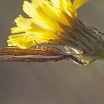 Le Crambus des tiges (Agriphila tristella)