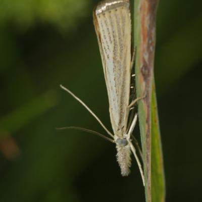 Le Crambus des chaumes (Agriphilla straminella)
