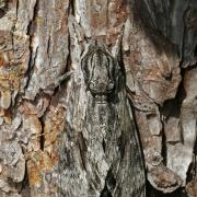Sphinx du liseron (Agrius convolvuli)
