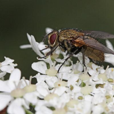 Tachinaire (Allophorocera ferruginea)