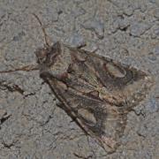 L' Aubépinière (Allophyes oxyacanthae)
