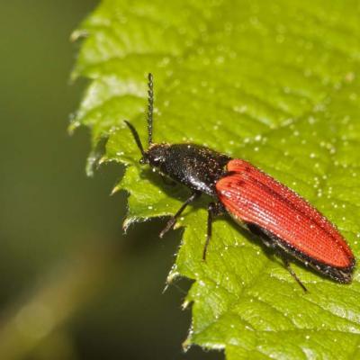 Ampedus du chêne (Ampedus quercicola)