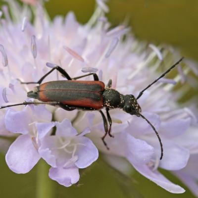 Lepture douteuse  (Anastrangalia dubia)