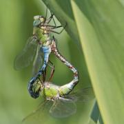 Anax empereur (Anax imperator) couple