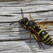 Ancistrocerus cf nigricornis