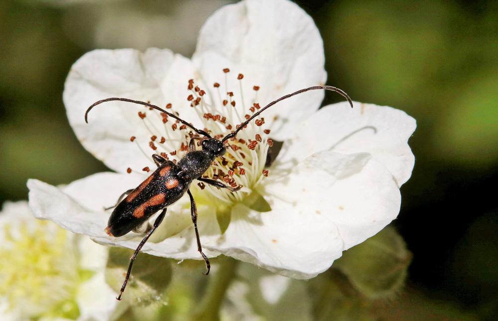 Lepture à 6 taches mâle (Anoplodera sexguttata)