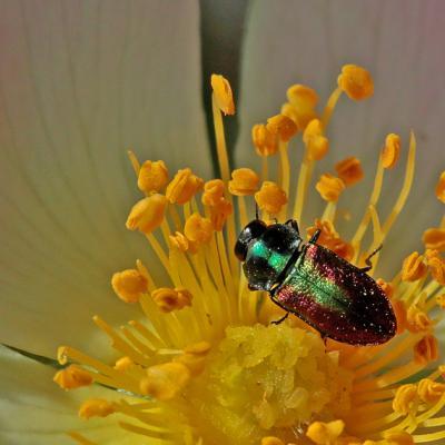 Anthaxie fulgurante femelle (Anthaxia fulgurans)