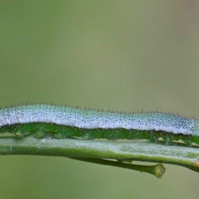 Aurore (Anthocharis cardamine)