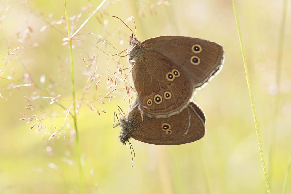 Le Tristan (Aphantopus hyperantus)
