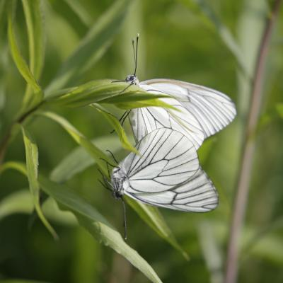 Le Gazé (Aporia crataegi) couple.