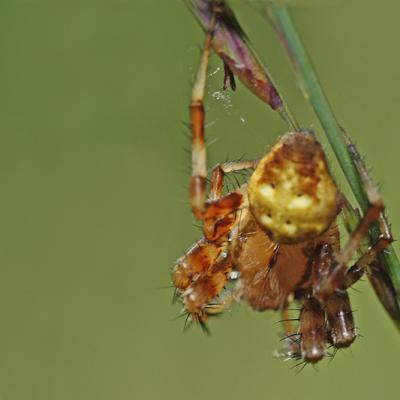 Epeire à quatre taches (Araneus quadratus) mâle