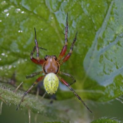 Araignée courge ( Araniella sp.)