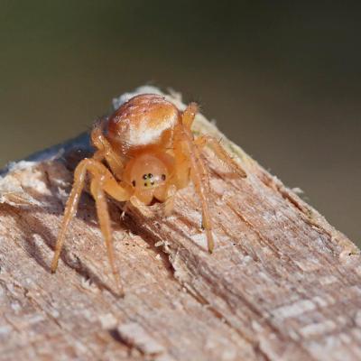 Araignée courge ( Araniella sp.) juvénile