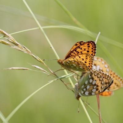 Grand nacré (Argynnis aglaja) couple