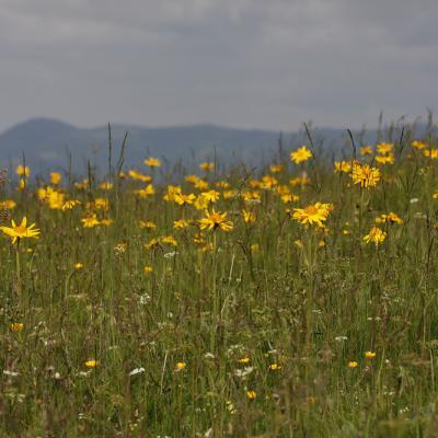 Arnica des montagnes (Arnica montana)