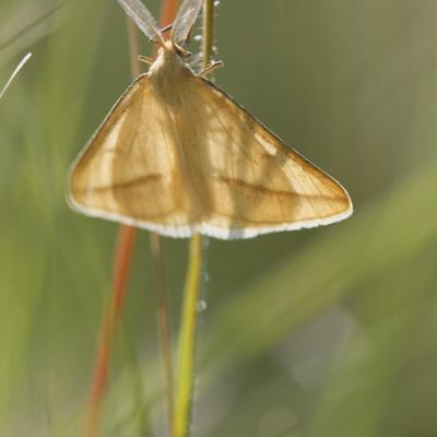 L'Aspitate jaunâtre (Aspitates gilvaria)