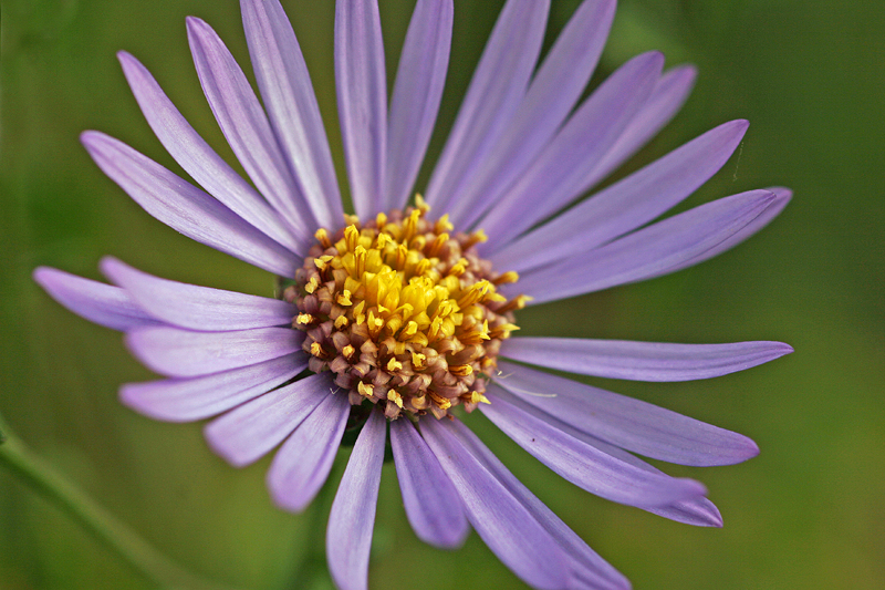 Aster amelle  (Aster amellus)