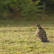 Autour des palombes  (Accipiter gentillis ) immature.