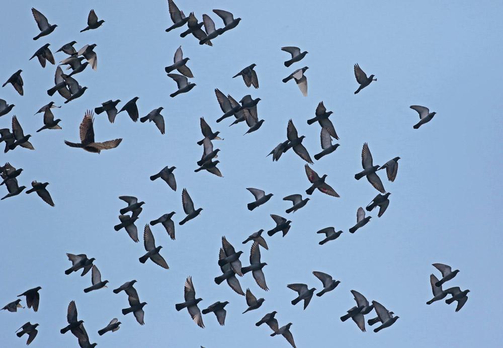 Autour des palombes  (Accipiter gentilis )