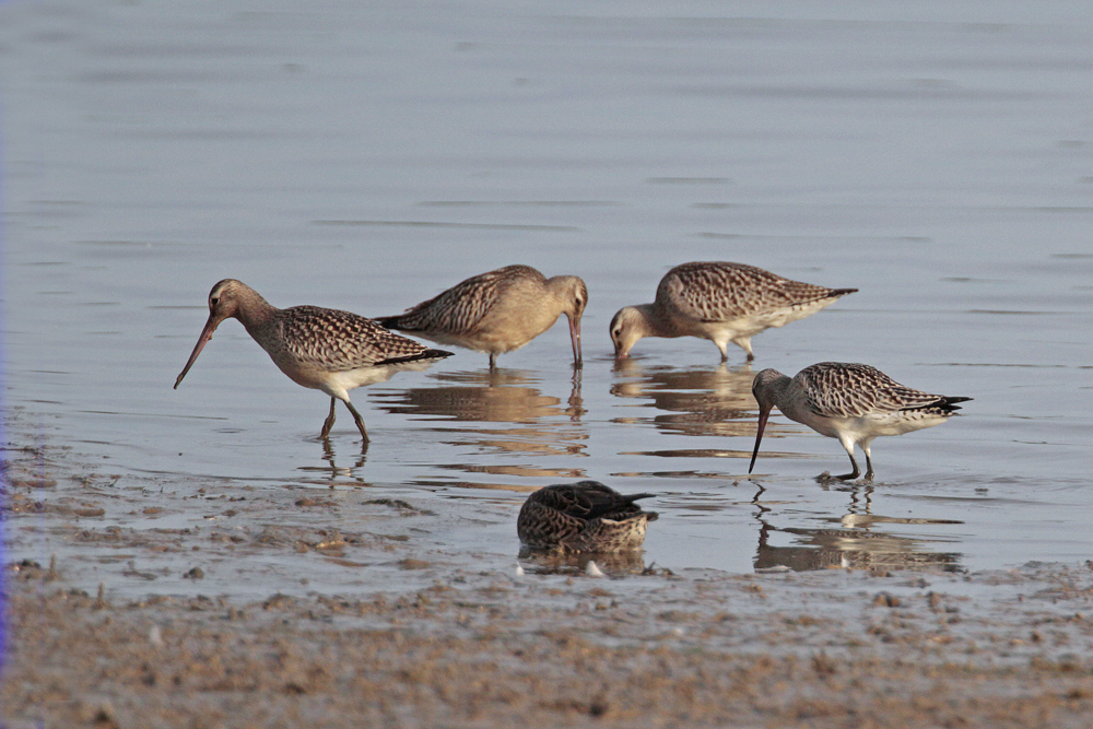 Barges rousses(Limosa lapponica)