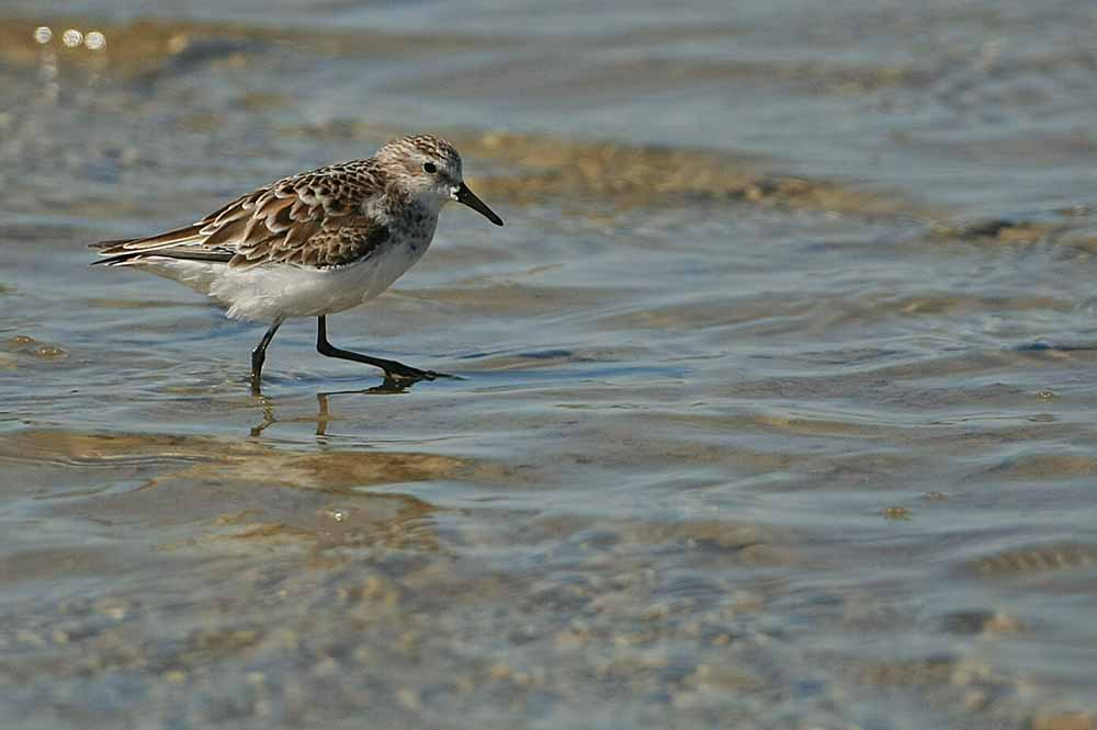 Becasseau sanderling  (Calidris alba)