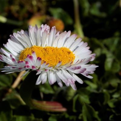 Pâquerette (Bellis perennis)