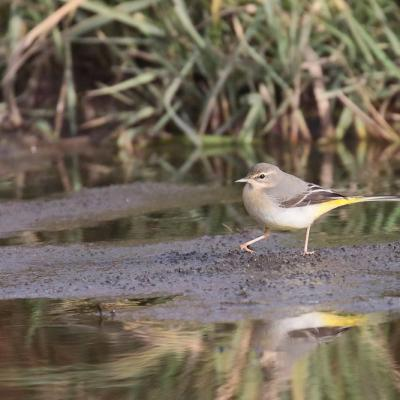 Bergeronette des ruisseaux (Motacilla cinerea)