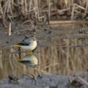 Bergeronnette des ruisseaux (Motacilla cinerea)