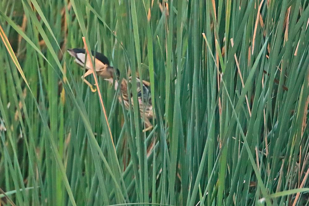 Blongios nain  (Ixobrychus minutus)