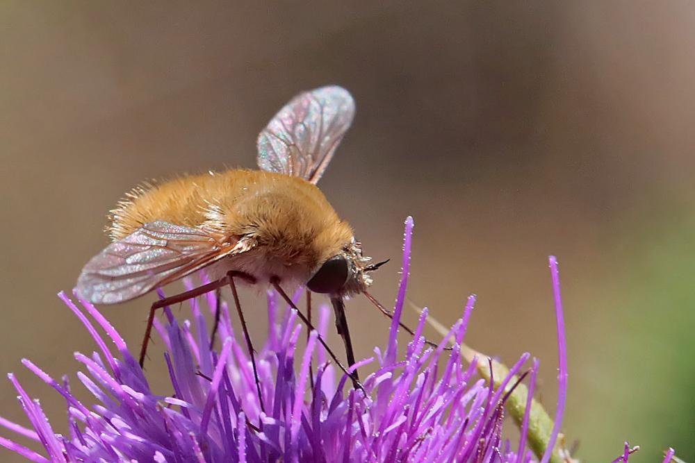 Bombyle (Bombylius cf cinerascens)