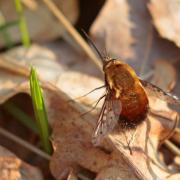 Bombyle bicolore (Bombylius discolor)