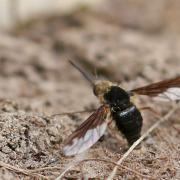 Grand bombyle (Bombylius major) femelle en ponte.