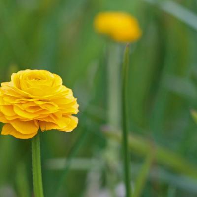 Bouton d'or ( Ranunculus repens)