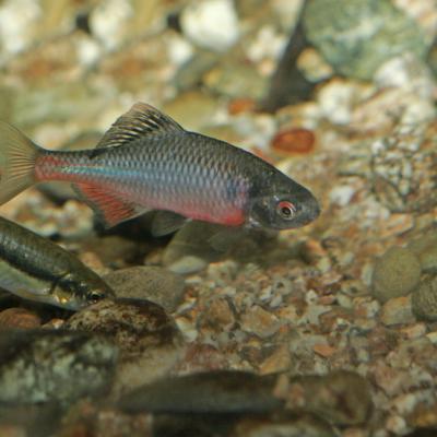 Bouvière  (Rhodeus amarus)