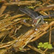 Aeschne printanière (Brachytron pratense) femelle