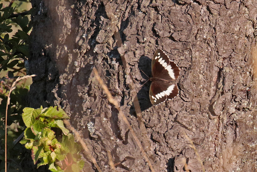 Le Silène (Brintesia cirse)