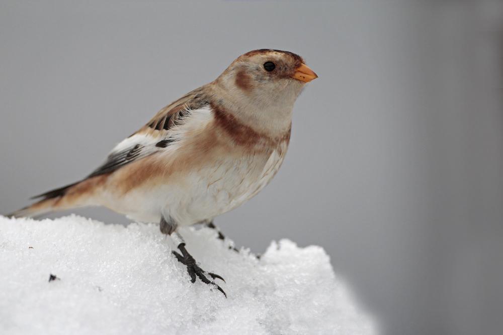Bruant des neiges (Plectophenax nivalis)
