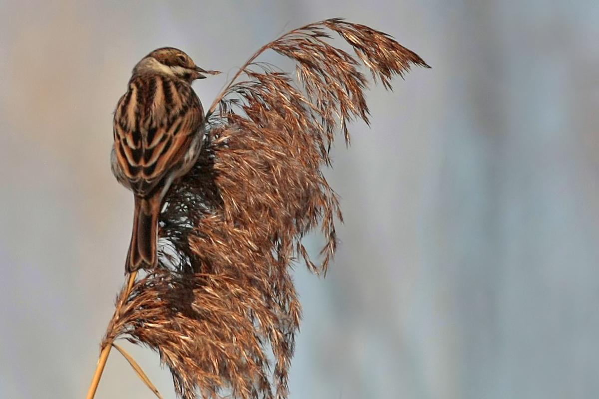 Bruant des roseaux (Emberiza schoeniclus)