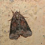 La Bryophile lupuline (Bryophila ravula)