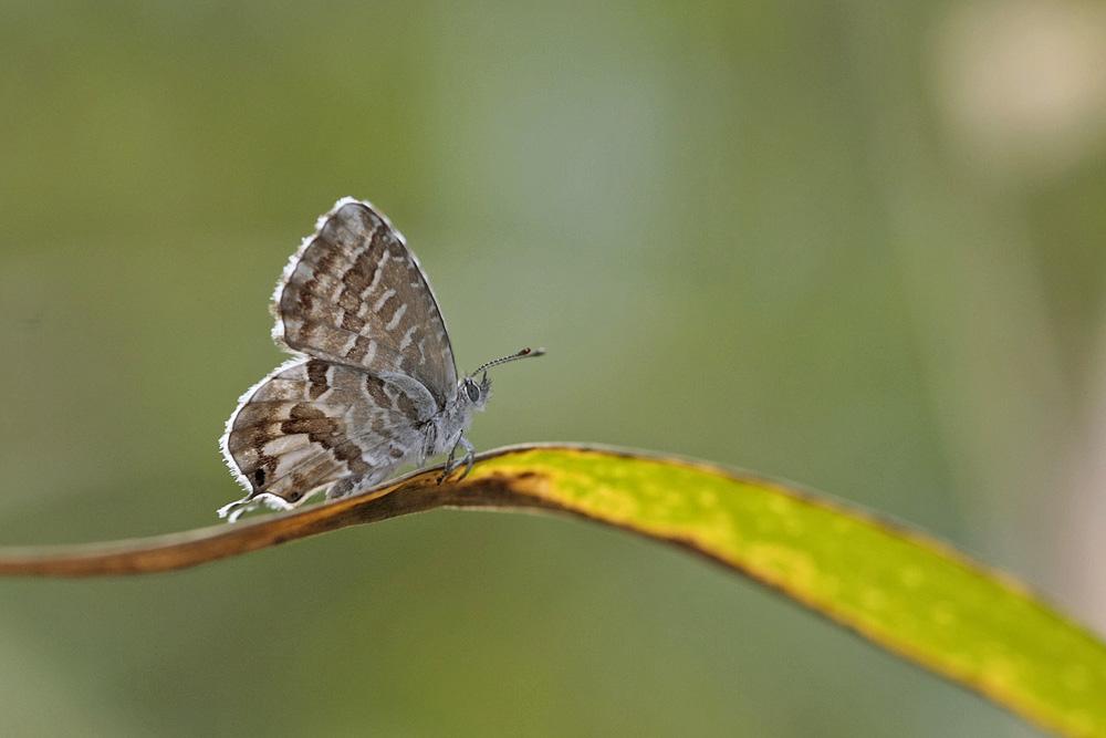 Le Brun des pelargoniums (Cacyreus marshalli)