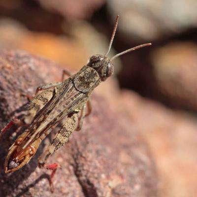 Caloptène ochracé (Calliptamus barbarus) mâle